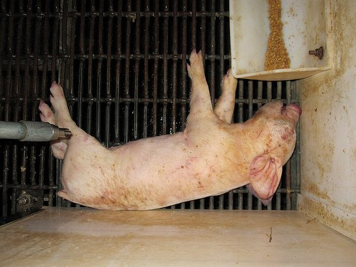 dead piglet New Film Exposes Cold Blooded Cruelty on Factory Farms