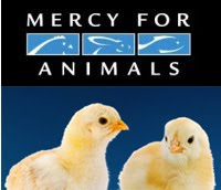 mercy for animals New Film Exposes Cold Blooded Cruelty on Factory Farms