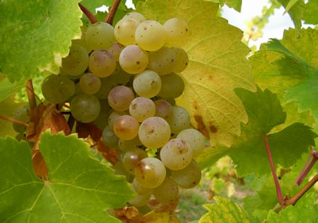 Riesling Image via hugel.com  Riesling Style: Light And Gorgeous Kabinett