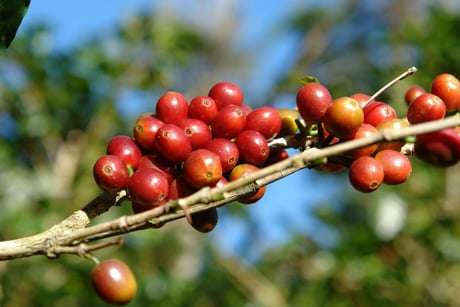 Coffee Beans World Coffee Supply Threatened By Climate Change