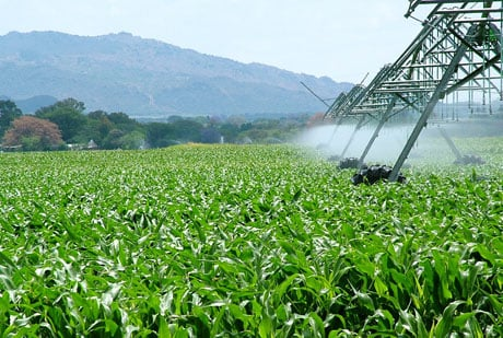 Monsanto Cornfield USDA Approves Monsantos GE Corn   The Latest in a String of GE Approvals