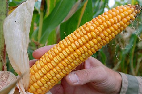 Monsantos Genetically Modified Corn USDA Approves Monsantos GE Corn   The Latest in a String of GE Approvals