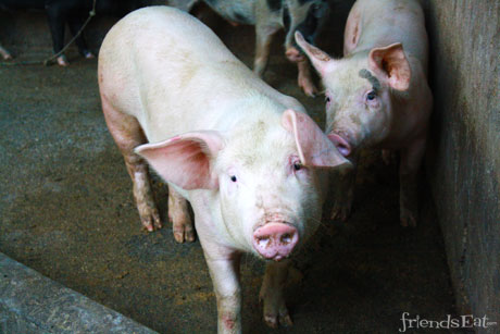 Pig Farm Livestock Is The Predicted World Shortage of Bacon Real?